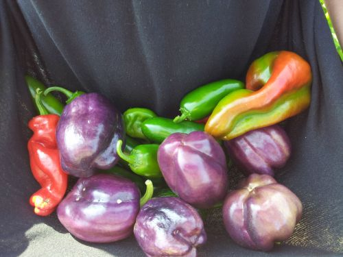 Purple Bell Peppers