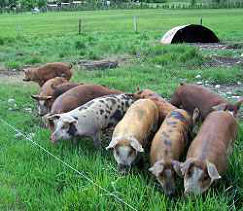 Pigs ready for market