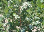 Michigan Blueberries growing just for You!