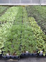 Bedding Plants in Greenhouse