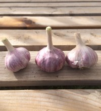 Garlic: Persian Star