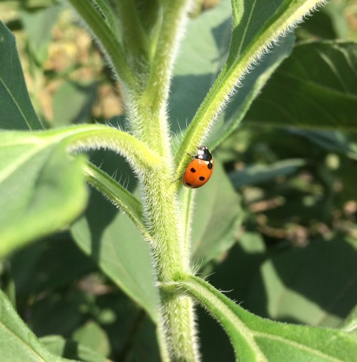 On the farm- Lady bug