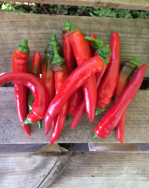 Peppers (hot): Red Ember