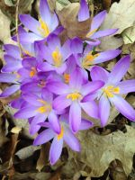 Spring has sprung with crocuses!