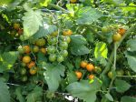 Sungold cherry tomatoes dripping off the vine.