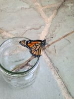A monarch butterfly after emerging from a chrysalis we safeguarded.