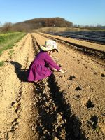 Ginger helping to plant garlic in November 2015.
