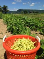 Yellow wax bean harvest.