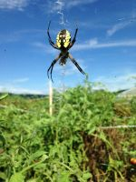 Yellow Garden Spider...our secret pest control in the tomato patch.
