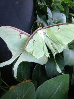 A pair of mating Luna Moths.