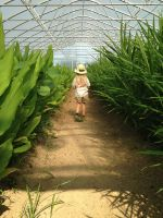 Ginger walking through our turmeric and ginger in our high tunnel.