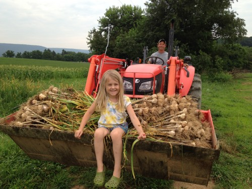 Garlic harvest 2017 with Sean and Ginger.