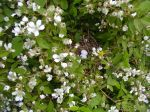 dove's nest in the blackberry brambles