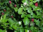 blackberries and crimson clover