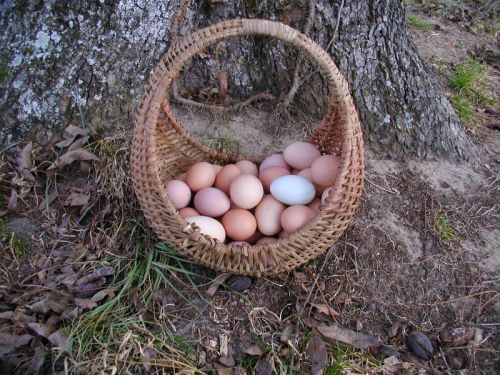 Free-Range Chicken Eggs