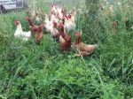 Laying Hens on Pasture