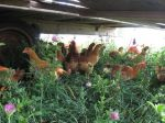 Pastured Meat Chickens