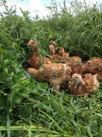 Meat Chickens on Pasture