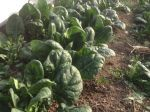 Gorgeous Over Wintered Spinach