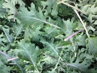 Red Russian Kale - 1/2 lb
