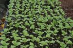 Melon transplants after Germination