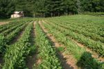 Rows of Redbeets