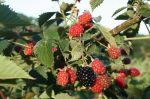 Blackberry Crop (PYO)