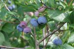 Blueberry Crop