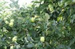Pick Your Own Lodi Apples