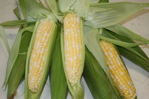 Bi Color Sweet Corn