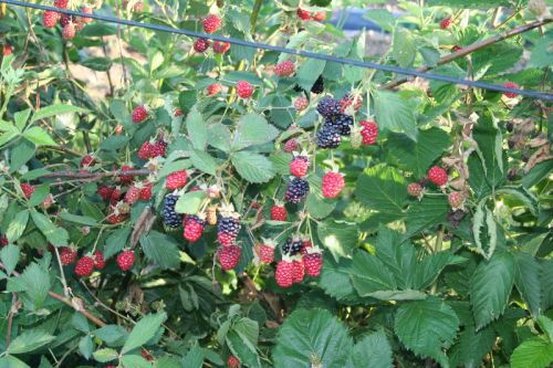 Pick Your Own Blackberry Crop