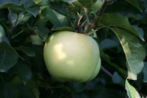 Earligold Apples