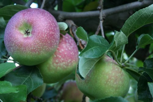 Paulared Apples