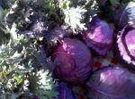Fall bounty - kale and cabbage
