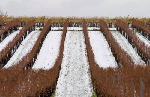 Winter Vineyard