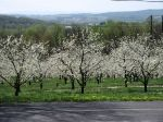 Cherries blooming on Bluebird Farm