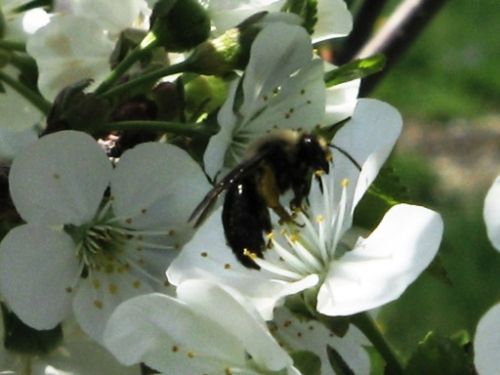 Our ally, the American Honey Bee working an apple bloom