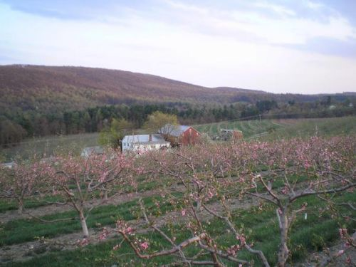 Early bloom on the Johnboy peaches