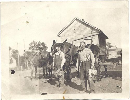 Guy and Ferd (Dave & John's Granddad and Great Grandad respectively) about to lead a team of mules out to work ground