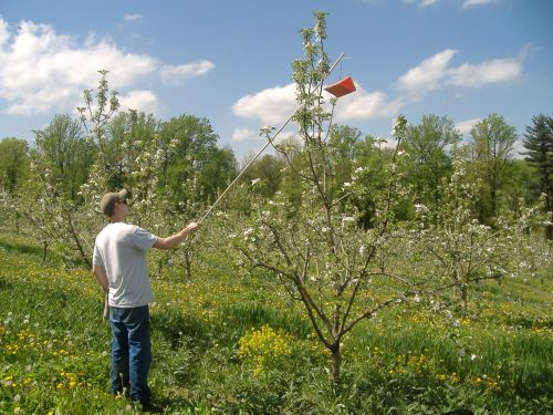 Greg Wenk hanging our Codling Moth Pheromone traps high in the tree