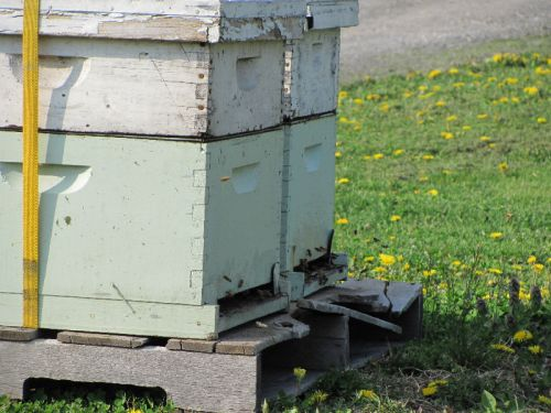 Local bees from the local 'keeper, working in bloomtime