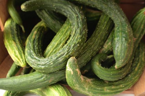 'Suyo Long' - asian burpless cucumber - http://straightfromthefarm.net/