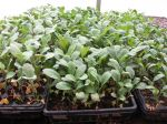 Kale ready for transplanting