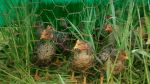 broilers in grass