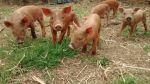 piglets in the yard