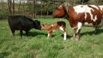 New calf meeting the cows