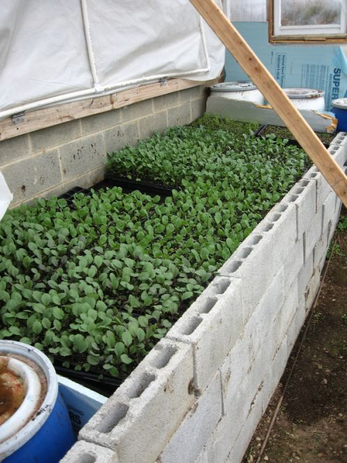Healthy Brassicas in greenhouse bunker