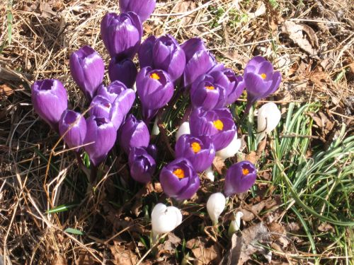 Crocus in March