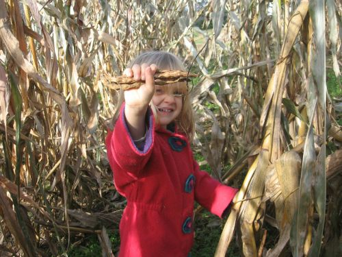 picking dried beans off corn stalks