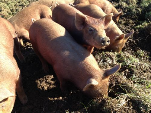 Tamworth pigs rooting